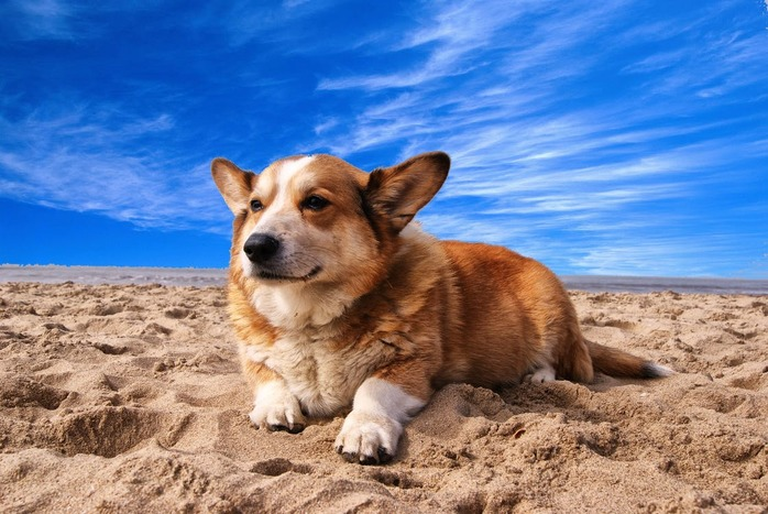 senior dog laying in the sand
