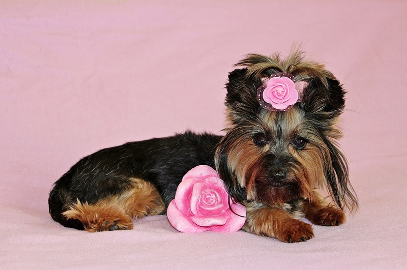 small dog with pink roses