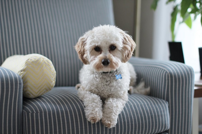 white dog sitting on a blue and white striped chair  - Tips for Dog Training